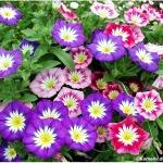 ดอกมอนิ่งกลอรีแคระ คละสี - Convolvulus Royal Ensign Flower Mix