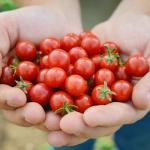 มะเขือเทศแคนดี้แลนด์ - Candyland Red Tomato F1