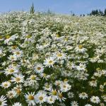 ดอกเดซี่ป่า ซองละ 50 เมล็ด