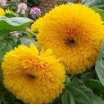 (Whole 1 Oz) ทานตะวันหมี - Teddy Bear Sunflower
