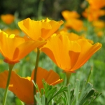 (Big Pack) ดอกป็อปปี้สีส้ม - Orange CA Poppy Flower