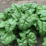 สปินิส ใจแอน โนเบล - Giant Nobel Spinach