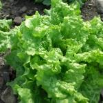 ผักสลัด ซิมสัน - Simpson Lettuce