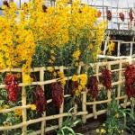 ทานตะวันแมกซิมิเลี่ยน - Maximilian Sunflower