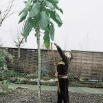 ต้นคะน้ายักษ์ ซองละ 5 เมล็ด