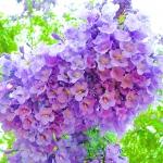 ศรีตรัง - Jacaranda mimosifolia Blue