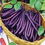 (Whole 1 Oz.) ถั่วแขกสี่ม่วง - Royal Burgundy Bean