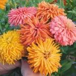 บานชื่นแคคตัส คละสี - Cactus zinnia flower Mix