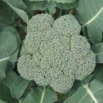 บล็อคโคลี่ พันธุ์ วอทัม29 - Waltham29 Broccoli