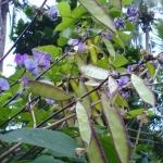 ถั่วแปบจีน - Chinese Hyacinth Bean