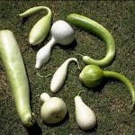 น้ำเต้า คละสายพันธุ์ - Mixed Gourd