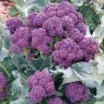 (Whole 1 Oz.) เบบี้บล็อคโคลี่สีม่วง - Purple Sprouting Broccoli