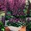 """ดอกซัลเวีย""""วิสต้า เพอร์เพิล""""10เมล็ด/ชุด thumbnail 1"""