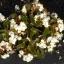 บีโกเนีย ปีกนางฟ้า สีขาว 10 เมล็ด/ชุด thumbnail 1