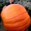 ฟักทองยักษ์ พันธุ์ บิ๊กแม็กซ์ - Big Max Giant Pumpkin thumbnail 1