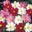ดาวกระจายคละสี - Mix Color Cosmos Flower thumbnail 4