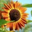 (Whole 1 Oz.) ทานตะวันสีแดง - Red Sunflower thumbnail 2