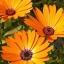 ดอกเดซี่แอฟริกา - African Daisy Flower thumbnail 2