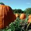 (Whole 1 oz) ฟักทองฮาโลวีน พันธุ์คอนเนคติคัท ฟิลด์ - Connecticut Field Pumpkin thumbnail 2