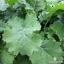 ผักคะน้าเคลไซบีเรียน - Siberian Kale thumbnail 3