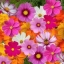 (Whole 1 LB) ดาวกระจายคละสี - Mixed Cosmos Flower thumbnail 4