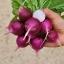 เรดิชสีม่วง - Purple Plum Radish thumbnail 2