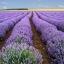 (Big Pack) ลาเวนเดอร์ - English Lavender thumbnail 1