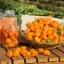 พริกฮาบาเนโร่สีส้ม - Orange Habanero Pepper thumbnail 1