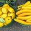 ฟักทองซูชินี่ โกลเด้น - Golden Zucchini Squash thumbnail 2
