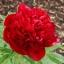 ดอกโบตั๋นสีแดง ซองละ 5 เมล็ด thumbnail 1