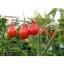 มะเขือเทศลูกแพร สีแดง - Red Pear Tomato thumbnail 2
