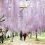 วิสทีเรียสีม่วง - Purple Wisteria thumbnail 2