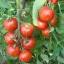 มะเขือเทศเสือ - Tigerella Tomato thumbnail 5