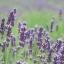 (Big Pack) ลาเวนเดอร์ - English Lavender thumbnail 3