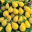 มะเขือเทศลูกแพรสีเหลือง - Yellow Pear Tomato thumbnail 1