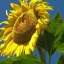 (Whole 1 Oz) ทานตะวันแมมมอธ - Mammoth Grey Stripe Sunflower thumbnail 1