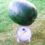 แตงโมแบล็คไดมอนด์ - Black Diamond Watermelon thumbnail 2