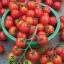 มะเขือเทศ สวีทมิลเลี่ยน - Sweet Million Tomato F1 thumbnail 2