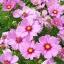 ดาวกระจายสีชมพู - Pink Cosmos Flower thumbnail 1