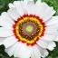 ดอกเดซี่ 3 สี คละสี - Tricolor Daisy Flower thumbnail 5