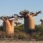เบาบับเกรโกเร - Adansonia Gregorii Baobab thumbnail 2