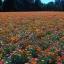 ดอกไม้ป่า ป็อปปี้ ฟีลด์ thumbnail 1
