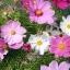 ดาวกระจายคละสี - Mix Color Cosmos Flower thumbnail 3