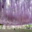 วิสทีเรียสีม่วง - Purple Wisteria thumbnail 3