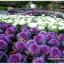 ปูเล่ประดับ คละสี - Osaka Series Mix Ornamental Cabbage thumbnail 5