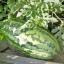 แตงโม พันธุ์จูบิลี - Jubilee Watermelon thumbnail 2