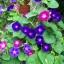 ดอกมอร์นิงกลอรี คละสี - Mixed Morning Glory Flower thumbnail 2