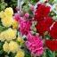 ดอกโฮลลี่ฮ็อคซ้อนคละสี - Mix Double Hollyhock Flower thumbnail 3
