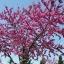 ต้นเรดบัด(Redbud Tree) ซองละ 5 เมล็ด thumbnail 2