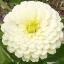 (Whole 1 Oz) ดอกบานชื่นสีขาว - White Zinnia Flower thumbnail 1